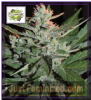 Cream of the Crop Auto Ko Crop Fem 10 Seeds